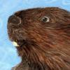 Big_Brown_Beaver